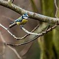 Zieba-Modraszka #wiewiorki #ogrody #zima #natura #zwierzeta #alicjaszrednicka