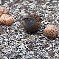 Pokrzywnica zimowa . #ptaki #ogrody #natura