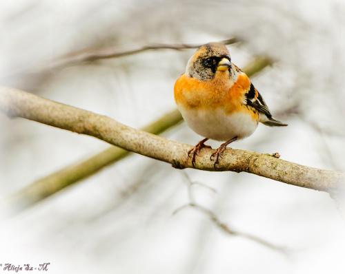 Nordfink-Polnocna zieba/lub zw.tez Gorska Zieba/#ptaki #przyroda #natura
