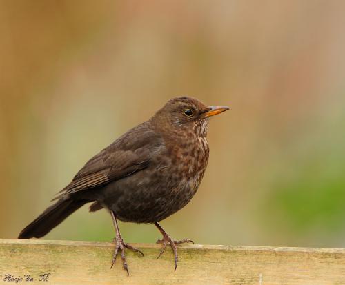 Samiczka Kosa.- #ptaki #ogrody #alicjaszrednicka #natura #przyroda