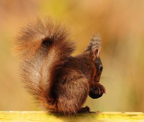 wiewiórka z orzechem.. #zwierzeta #wiewiórki #ogrody
