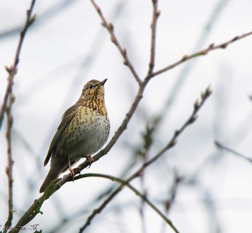 Drozd - #ptaki #ogrody #natura #przyroda #modraszki #drozdy #dzwoniec
