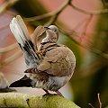 Gołąb sierpówka bardzo dbający o swoje piórka..:) #ptaki #wiosna #ogrody