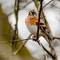 Gorska Zieba(Polnocna Zieba) #ptaki #wiosna #ogrody