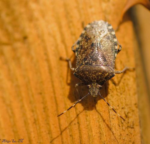 Kniezyca szara,-podobno lubi brzozy a spaceruje po pergoli rózanej :) #owady #insekty #ogrody #natura #przyroda