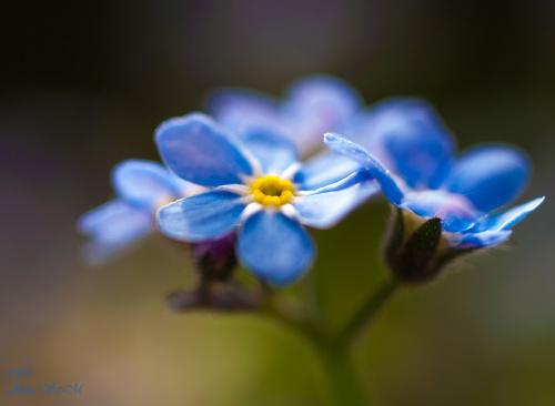 Niezapominajka alpejska,(Myosotis alpestris) Zwyczajowo nazwana : niezabudka, zabie oczka #niezapominajka #kwiaty #wiosna #natura #przyroda