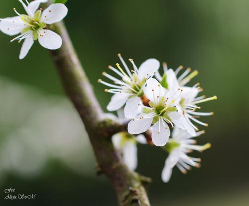 Glóg jednoszyjkowy,- #natura #przyroda #lasy #wiosna #Glóg #jednoszyjkowy