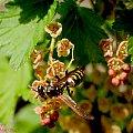 Osa na porzeczce..#kwiaty #natura #przyroda #ogrody #macro
