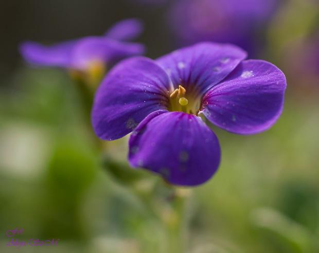 Blaukissen..czyli Żagwin, obrecja (Aubrieta Adans).#kwiaty #natura #przyroda #ogrody #macro
