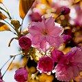 Japonska wisnia ozdobna,. #kwiaty #ogrody #drzewa