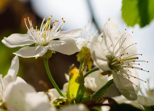 Kwiaty gruszy,- #kwiaty #drzewa #grusze #jablonie #magnolie