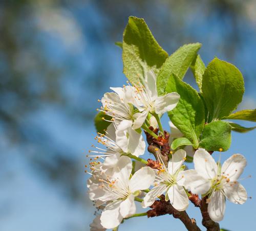 Kwiaty gruszy- #wiosna #kwiaty #drzewa #ogrody #jablonie,grusze