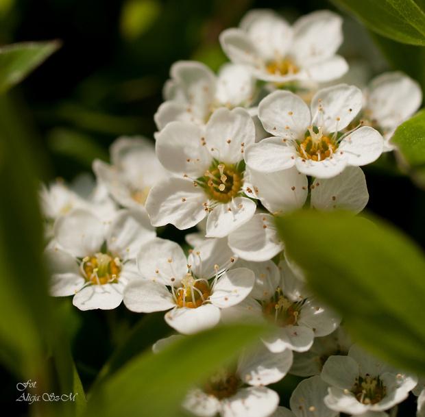 Krzew ozdobny?? Czy ktos zna nazwe tego krzewu ? Te kwiatki sa malenkie ,a krzew ok.1m wysoki.,czy moze nazywac sie Owsianka? #krzewy #kwiaty #ogrody #drzewa #natura #przyroda