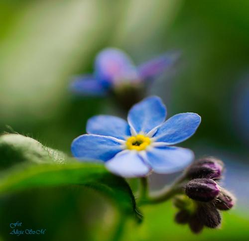 Sasanki,- #kwiaty #ogrody #drzewa #natura #przyroda