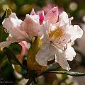 Różanecznik(Rhododendron) #kwiaty #wiosna #macro #tulipany #alicjaszrednicka #Rhododendron,Różanecznik