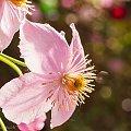 Powojnik górski (Clematis montana) :- #kwiaty #wiosna #clematis #ogrody #macro