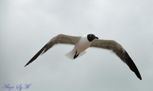 mewa Karaibska- #mewy #ptaki #plaze #atlantyk