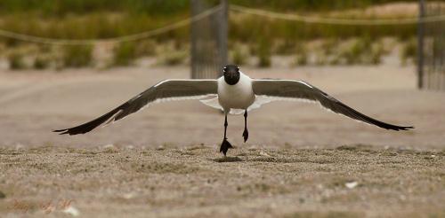 mewa hamująca.. #mewy #ptaki #atlantyk #plaże #alicjaszrednicka