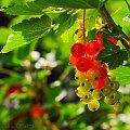 Czerwona Porzeczka w moim ogrodzie #macro #owoce #natura #ogrody #alicjaszrednicka