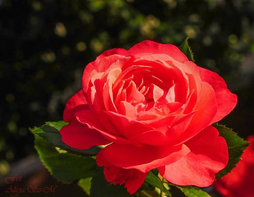 Jedna z tysiaca róz w moim ogrodzie.. #kwiaty #róze #ogrody #macro #alicjszrednicka #natura #flora