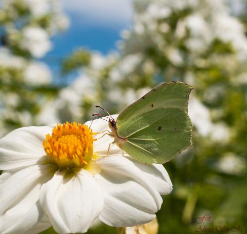 Latolistek cytrynek  #natura #ogrody #motyle #macro #alicjaszrednicka