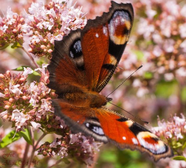 Rusalka, pawik-  #natura #ogrody #motyle #macro #alicjaszrednicka