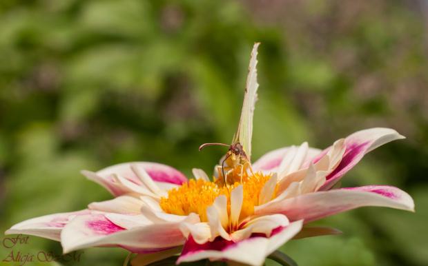 Motyle,motyle ,,,motyle,, #motyle #przyroda #natura #ogrody #kwiaty #insekty alicjaszrednicka-mondritzki