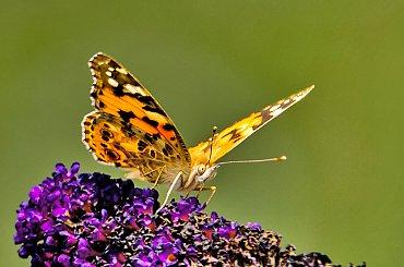 Rusalka osetnik,- motyle ,#natura #ogrody #macro #osetnik