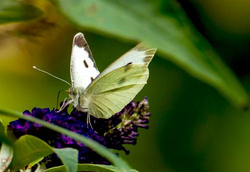 Bielinek Kapustnik,- #motyle #natrura #przyroda #macro