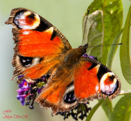 Staruszek mocno sfatygowany.. #motyle #ogrody #macro