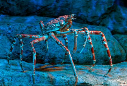 Japanese Spider Crab czyli Macrocheira kaempferi