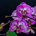 storczyk #storczyk #kwiaty
