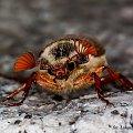 Chrabąszcz majowy #chrabąszcz #majowy #owady #makro