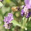 mój ogród w kwiatach i owadach..owady sa w swoim bufecie rosnacym specjalnie dla nich :) #owady #kwiaty #mój #ogród #alicjaszrednicka