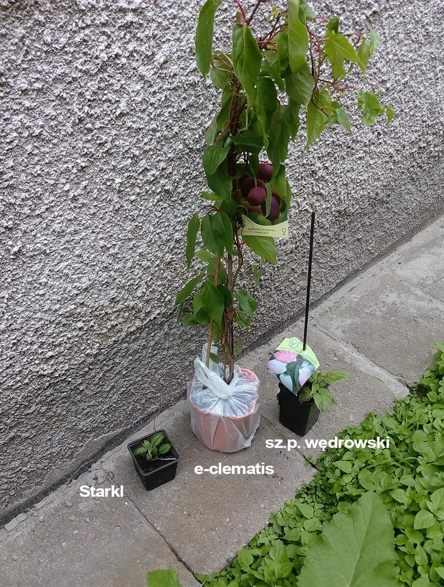 Zobacz Wątek Aktinidia Kiwi Uprawa Formowanie