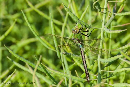 W rzepakowych strąkach - Żagnica zielona (Aeshna viridis) #ważka #owady