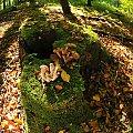 pyszne grzybki Opienki /niem.Hallimasch/ #Opienki #grzyby #lasy #Hallimasch alicjaszrednicka-mondritzki