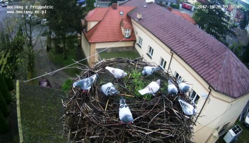 Gołębie w bocianim gnieździe w Przygodzicach