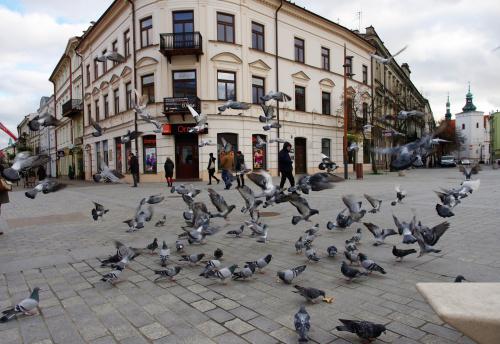 lubelskie gołębie