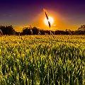 Pole #pole #zachód #zboże #słońce