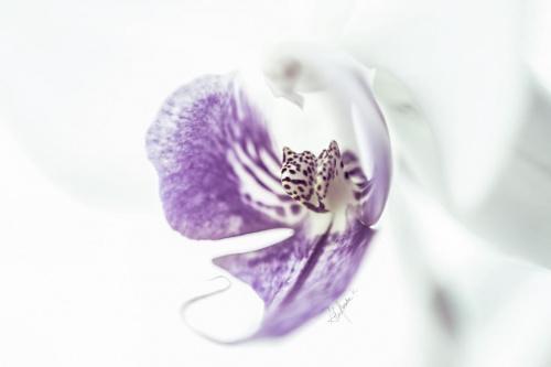 Phalaenopsis z szuflady