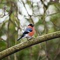 kolejny z moich gosci w ogrodzie:)) #ptaki #gile #zima alicjaszrednicka-mondritzki